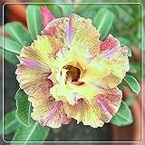 Wüstenrose pflanze im topf,Knollig,Das Bouquet ist brillant,Herrliche feine Zierpflanzen-1,2zwiebelns