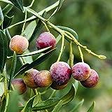 20 Stück Olivensamen Für Die Gartenarbeit Landschaft Pflanzen Aufrechtes Wachstum Mehrjährige Bäume Geeignet Für Landwirtschaftliche Werkzeuge Baumaterialien Hat Einen Hohen Wirtschaftlichen Wert