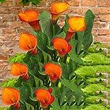 Calla Pflanze,Bio-Pflanzen in Ihrem Hof wachsen,Duftende, schöne-1,2zwiebelnS