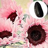 Steelwingsf 15Stücke / Beutel Rosa Sonnenblumenkerne Lebendige Dekorative Tragbare Rustikale Sonnenblumenkerne Für Gartenblumenkerne Zum Pflanzen Im Freien Sonnenblumenk
