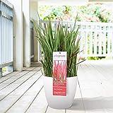 Imperata cylindrica'Red Baron' | Rotes Ziergras | Japanische Pflanzen Winterhart | Höhe 40-60 cm | Topf-Ø 14 cm