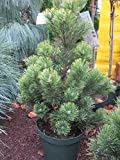 Pinus mugo 'Pal Maleter' - Zwergkiefer 'Pal Maleter' 40-50