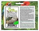 Stk - 10x Lithops marmorata var elisae Zwergsukkulente Pflanzen - Samen B1728 - Seeds Plants Shop Samenbank Pfullingen Patrik Ipsa