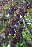 Blutpflaume Prunus cerasifera 'Nigra' Pflanze 15-20cm Blut-Pflaume Kirschp