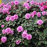 Charm4you mehrjährig winterhart Samen,Gartenblumensamen-Lila 200 Kapseln,mehrjährig winterhart Samen