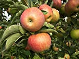 Apfel Muskat. Apfelbaum ca.160/180 cm, Tafelapfel, Malus domestica