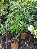 Ficus carica Nero - Schwarze Feige - 60-80 cm