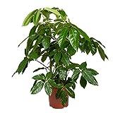 Pflanzen Kölle Regenschirmaralie, Schefflera actinophylla 'Amate', Gesamthöhe ca. 130