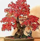 20 Stück Ahornsamen im Freien oder Bonsai Ornamental Pflanzen Staude Red Maple Tree Seeds Pflanzen für Balkon Hausgarten