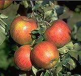 WonderTree Apfelbaum Elstar Apfel extra reich tragend selbstfruchtend kompakt w