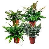 4x Indoor plants   4er Set Luftreinigende Zimmerpflanzen Set   Farn Zimmerpflanze   Höhe 25-30 cm   Topf-Ø 12 cm