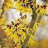 Gelbe Zaubernuss - Hamamelis x intermedia - Arnold Promise - winterblühend leuchtender Strauch - von Garten Schlüter - Pflanzen in Top Qualität