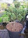 Pinus parviflora Kinpo - Zwergkiefer Kinpo