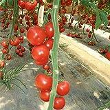 Tomaten große Tomatensamen Anti-TY-Virus Gewächshaus Pflanzen Tomatensamen 500g