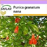 SAFLAX - Zwerg - Granatapfel - 50 Samen - Punica g