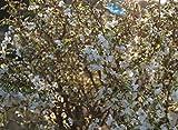 Prunus incisa `Kojou no mai´, Geschlitzte Zierkirsche, gut verzweigt, 40-60cm im Top