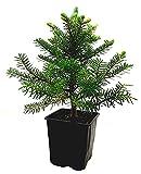 Seedeo® Korea Tanne (Abies koreana) Pflanze ca. 20 cm
