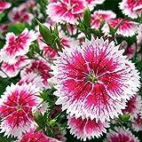 Keshang viele Blüten,Colorful Stone Bamboo Seed Flower seeds-100PCS_Colorful Stone Bamboo Species,Zum Pflanzen im Garten