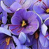 6Pcs Schöner Safran Krokus Zwiebeln Zum Pflanzen Mehrjähriger, Frisch Geernteter Blumen Seltene Sorten Und Exotische Stile, Die Ohne Allzu Große Sorgfalt Leicht Zu Pflanzen Sind