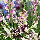 15ST Mix Lilium Curitiba + Gladiolus Flevo Laguna | Mischung Lilien + Gladiolen | 15 Blumenzwieb