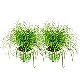 ZynesFlora   Cyperus Alternifolus – Katzengras - 2 Stück - Ø 12 cm - ↕ Höhe: 25-30 cm – Zimmerpflanze