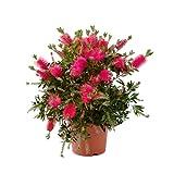 Blume von Botanicly – Zylinderputzer – Höhe: 39 cm – Callistemon Laevis