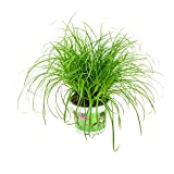 ZynesFlora | Cyperus Alternifolus – Katzengras - Ø 12 cm - ↕ Höhe: 25-30 cm – Zimmerpflanze