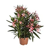 Nerium Oleander | Oleander Rosa | Immergrüne Sträucher | Garten- und Balkon Pflanze | Höhe 35-45cm | Topf-Ø 14
