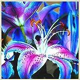 Lilium asiaticum/Magische blaue Blüten, blühende, üppig schöne Stängel und Blätter, sommerblühende Pflanzen (kernlose) Lilien-2 zwiebeln