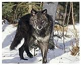 Malen Nach Zahlen Diy Leinwand Ölgemälde Kit Für Erwachsene Anfänger & Kinder Mit Pinsel Und Acrylpigment 40X50Cm (Mit Holzrahmen) - Wolf Schnee Wintergras
