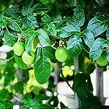 10 Stück Mehrjährige Olivensamen Wachsen Sie Ihren Eigenen Garten Bäume Smaragdgrüne Blätter Runde Saftige Früchte Sind Eine Gute Wahl Für Die Begrünung Der Umwelt