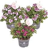 Duftgeranie | Pelargonium pro 3 Stück in 3 Farben - Freilandpflanze im Anzuchttopf ⌀12 cm - ↕20-25 cm