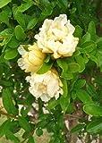 TROPICA - Granatapfelbaum Gelbblühend (Punica granatum flavescens) - 25 S