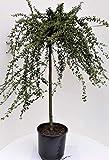 Cotoneaster congestus - Stamm, Zwergmispel, Höhe: 120 cm + Dünger