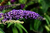 Sommerflieder Schmetterlingsflieder violett-blaue Blüte Buddleja davidii Empire Blue Containerware 40-60