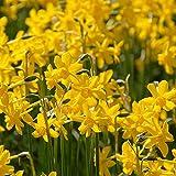 Narzissen zwiebeln winterhart mehrjährig Pflanzen Blumen-5zwiebeln,C