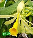 BALDUR Garten Echte Vanille Pflanze, 1 Topf Vanilla planifolia, Orchidee Zimmerp