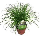 Echtes Katzengras (Cyperus alternifolius 'Zumula') (1)