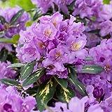 Rhododendron Hybrida Goldflimmer Pflanze 1l Topfgröße