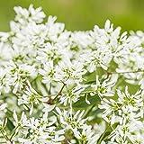 Pflanzen Kölle Zauberschnee 'Diamond Snow', 6er-Set, Chamaesyce hypericifolia, Topf 12 cm Ø