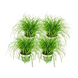 ZynesFlora   Cyperus – Katzengras - 4 Stück - Ø 12 cm - ↕ Höhe: 25-30 cm – Zimmerpflanze