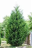 Cupressocyparis leylandii Leyland-Zypresse im Topf gewachsen ca. 60