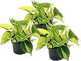 Efeutute, Scindapsus, (Epipremnum aureum) Sorte: Brasil, gelb-grünes-buntes Blattwerk, rankend, Ampelpflanze, luftreinigend (3er Set je im 12cm Topf)