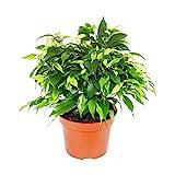 Exotenherz - Buschige Birkenfeige - Ficus benjamini'Kinky Green' - 12cm Topf