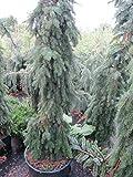 Picea omorika Pendula - Serbische Hängefichte Preis nach Größe 60-70 cm