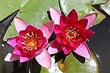 ZAC Wagner Zwergseerose Nymphaea froebeli wunderschöne Seerose Teichpflanze Schwimmp