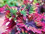 Buntnessel Samen, Coleus 'Rococo' 10 Samen ungewöhnliche Blattform