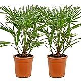 Chamaerops 'Humilis'   Europäische Zwergpalme pro 2 Stück - Freilandpflanze im Aufzuchttopf cm21 cm - ↕70-80 cm