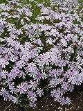 Phlox subulata Emerald Cushion Blue - Polsterphlox, 18 Pflanzen im 5/6 cm Top