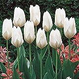 Tulpen Zwiebeln,Gartenpflanzung, Zwiebeln, Bodenpflanzen,Zierpflanzen,Pflanze,Blüten, Topfpflanzen,Schöne Blumen,Schnittblumen,Können an Freunde Geschickt Werden-20 Zwiebeln,2